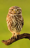 Small owl in the nature Royalty Free Stock Photos