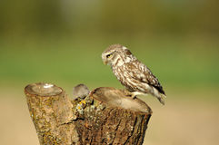 small owl observes its prey Royalty Free Stock Photography