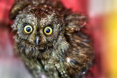 Small owl with wide yellow eyes royalty free stock photos