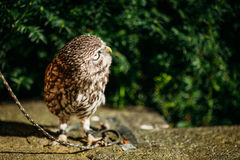The small owl. Wild bird Royalty Free Stock Image