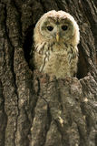 Small owlet in a nest. Portrait of small owlet in a nest stock images