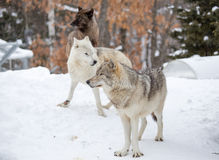 A small pack of three Eastern timber wolves. Gather on snow Royalty Free Stock Photo