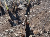 Small palm burned in a fire and starting to revive. In natural park of Garraf, in Castelldefels, Barcelona Royalty Free Stock Photo