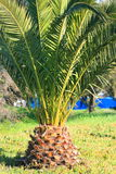 Small Palm Tree. Small tropical palm tree in a park Royalty Free Stock Photography