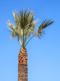 Small palm tree above clear blue sky Stock Photography