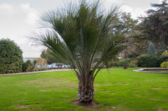 Small palm tree on the lawn in park. Small palm tree on the lawn in the park in high quality Stock Image