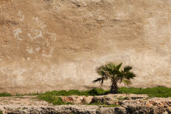 Small palm tree on an old wall Royalty Free Stock Photo