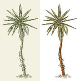 Small palm tree Royalty Free Stock Photo
