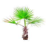 Small palm tree  on white Royalty Free Stock Photography