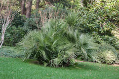 Small palm trees on the lawn in park. Small palm trees on the lawn in the park in high quality Royalty Free Stock Photography