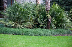 Small palm trees on the lawn in park. Small palm trees on the lawn in the park in high quality Royalty Free Stock Image