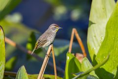 Palm Warbler Perched On Foliage. A small Palm Warbler is perched on foliage royalty free stock image