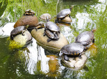 Small panamanian tortoises. In the water Stock Images