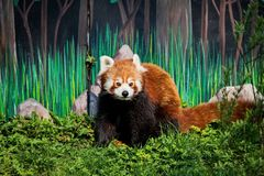 Small Panda, cat bear Ailurus fulgens - a mammal from the family of pandas, the size of a little larger than a cat. Written mention of this beast in China royalty free stock images