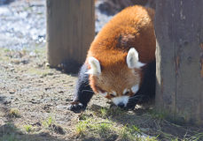 Small Panda (red Panda) Stock Photography