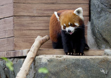 Small Panda (red Panda). Stock Photos