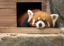 Small Panda (red Panda). Royalty Free Stock Photo