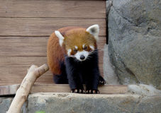 Small Panda (red Panda). Royalty Free Stock Photography