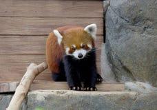 Small Panda (red Panda). Royalty Free Stock Photography