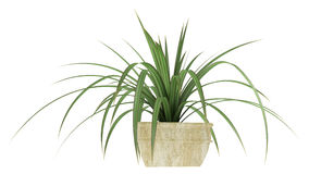 Small Pandanus plant Stock Photos