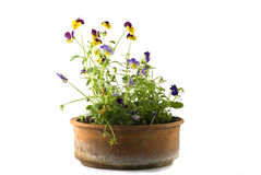 Small Pansy Stock Image