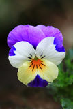 Small pansy or violet flower in various colors Stock Image