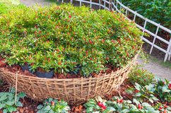 Small paprika red hot chili pepper plants on basket in a farm garden Royalty Free Stock Image