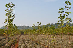 Small para rubber trees. Small rubber trees and pineapples trees in countryside of Thailand Royalty Free Stock Image