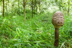 Small parasol fungus in forest Stock Image