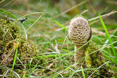 Small parasol fungus on meadow Stock Photography