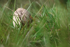 Small parasol mushroom in the grass Royalty Free Stock Images