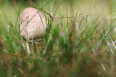 Small parasol mushroom in the grass Stock Images