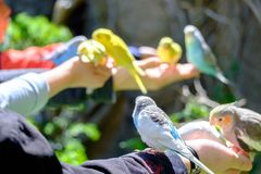 Small parrot fly to arm of human for eat food in their hand. Many small parrot fly to arm of human for eat food in their hand Stock Images