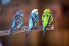 Small parrots birds, bright blue and green, sitting on tree branch on blurred copy space background. Keeping pets at home concept.  royalty free stock photography