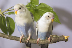 Small parrots sitting on tree branch Royalty Free Stock Image