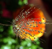 Part of the dandelion seed with water drops on a colorful background stock photography