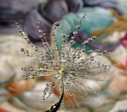 Detail of the dandelion seed with water drops on a light background royalty free stock image