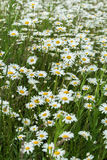 Small part of an infinite huge field of daisys flowers. Summer day. Concept of seasons, ecology, green planet, Healthy Stock Photos