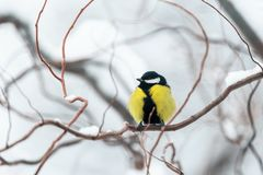 Small parus on twig close up Royalty Free Stock Image