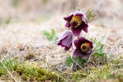 Small Pasque flower - Pulsatilla pratensis subsp. bohemica - naturally growing beautiful spring flower, critically endangered. Species stock photos