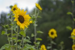 A patch of sunflowers on an overcast day. A field of yellow sunflowers brighten an overcast summer day stock photography