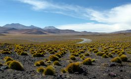 Small patches of grass in the Uyuni desert of Bolivia royalty free stock images