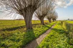 Small path with pollard willows in a row Royalty Free Stock Image
