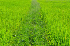 Small path in rice field Royalty Free Stock Photography