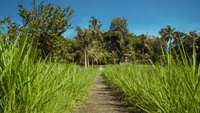 Small path between rice fields, palm trees in background stock video
