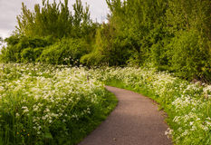 Small path between white flowering Cow Parsley Stock Image