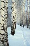 Small path in winter birch wood stock image