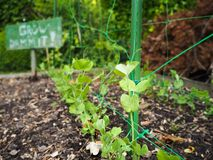 Small pea seedlings planted at home. In rows with a sign saying ` Grow Dammit!` next to it as an encouragement and joke royalty free stock images