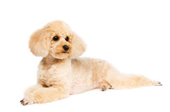 Small peach-colored poodle lying and looks aside privately. A small peach-colored poodle lying on white background and looks aside privately Royalty Free Stock Photo