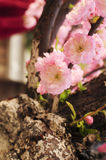 Small peach flowers. The very beautiful pink Small peach blossom Stock Photography